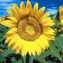 Безкоштовна ава из категории Квіти #679
