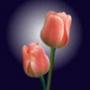 Оригінальна ава из категории Квіти #682