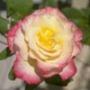 Безкоштовна автрака из категории Квіти #685