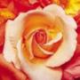 Красивая автрака из категории Цветы #691