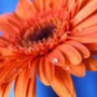 Оригінальна автрака из категории Квіти #792