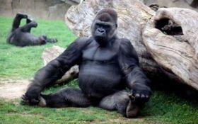 В зоопарке США горилла освоила йогу