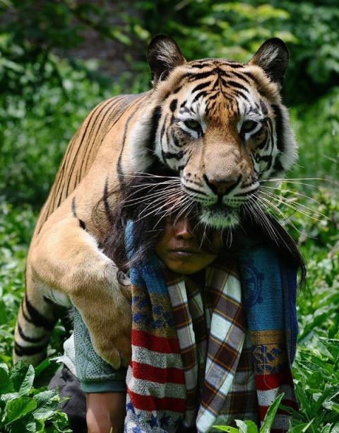 Неймовірна історія дружби тигра і людини (13 фото) (11)