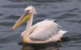 10 цікавих фактів про рожевого пелікана - символа цьогорічної Години Землі в Україні