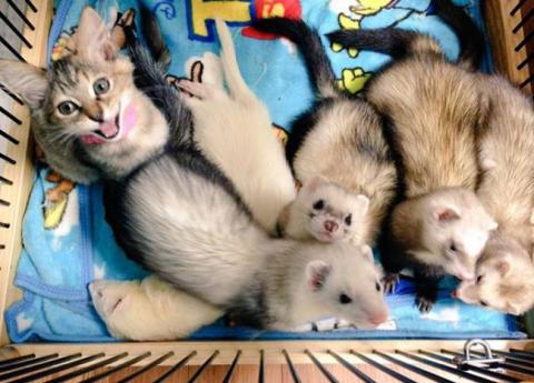 Представляємо кошеня, яке вважає себе тхором (12 фото) (2)