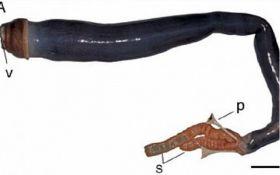 Ученые впервые поймали огромного корабельного червя