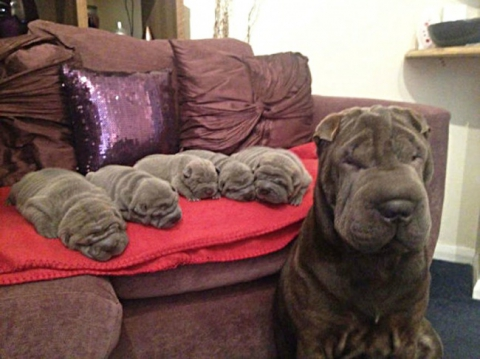 Собаки-мами, які безмірно пишаються своїм потомством (20 фото) (5)