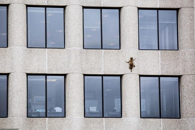 В США енот покорил небоскреб и стал звездой социальных сетей: опубликованы впечатляющие фото (4)