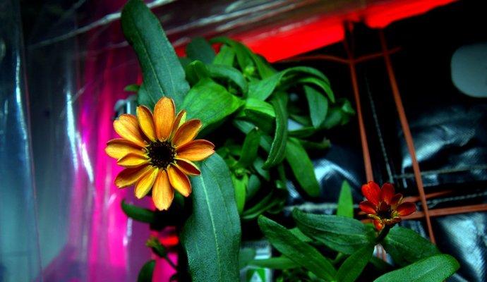 Распустился первый цветок на МКС