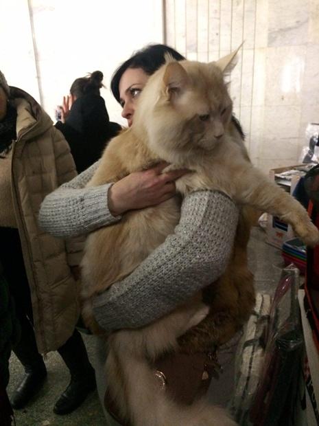 Битва гигантов: в Киеве выбрали самого большого кота (5)