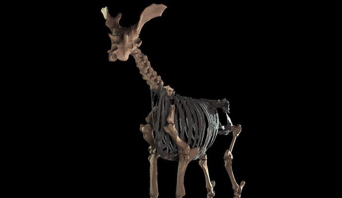Найбільша жуйна тварина померла 10 000 років тому