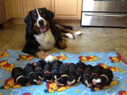 Собаки-мами, які безмірно пишаються своїм потомством (20 фото) (20)