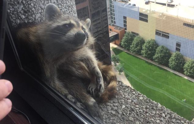 В США енот покорил небоскреб и стал звездой социальных сетей: опубликованы впечатляющие фото