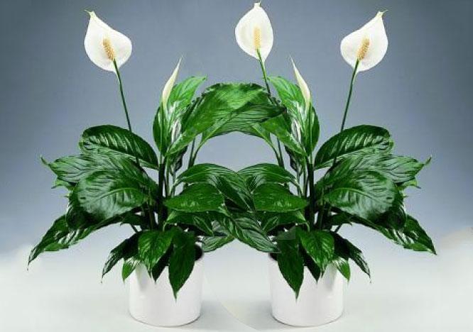 ТОП-5 комнатных растений, которые сделают воздух в доме очень чистым (3)