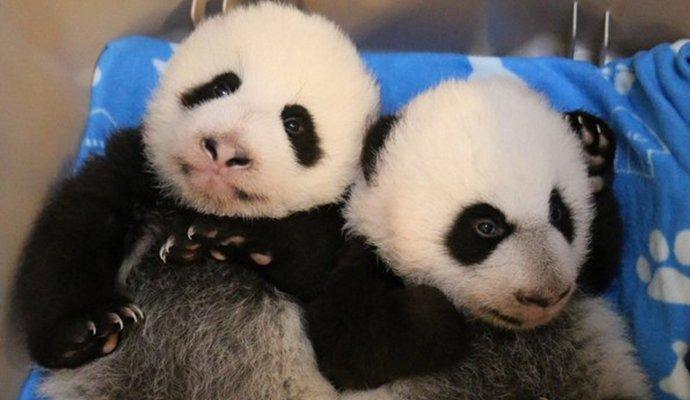 Канадським пандам вже три місяці