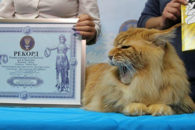 Мейн-кун Кекс признан самым большим котом Украины