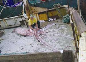 У берегов Австралии выловлен гигантский кальмар