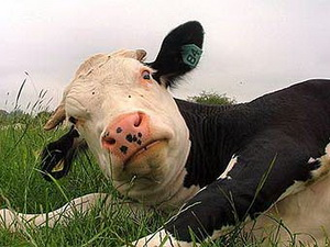 Эстонцы передумали взимать налог на коровьи газы