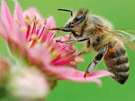 Ученые доказали, что пчелы говорят на разных языках