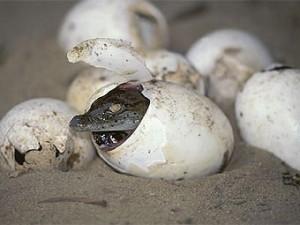 Крокодилы начинают общаться еще в яйцах