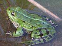 Австралийский политик объявил войну жабам