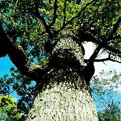 Киевляне пытались защитить старейшее дерево города