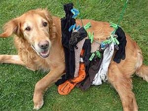 Пес съел 17 предметов одежды и остался жив