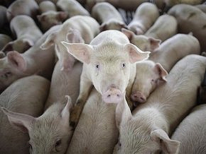 Минздрав призвал украинцев ограничить контакты со свиньями