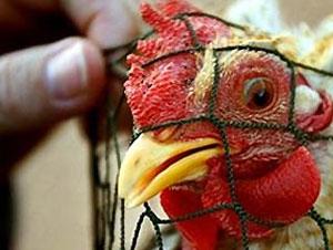Изобретена новая вакцина против птичьего гриппа