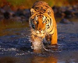 В китайском зоопарке тигр съел посетителя