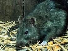 Крыса на три часа лишила вокзал Стокгольма электроэнергии