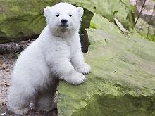 Трехмесячный медвежонок Флоке впервые вышел в свет