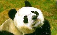 Гостей Олимпиады-2008 в Пекине встретят восемь панд