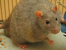 В московских зоомагазинах раскупили всех крыс