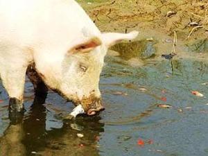 Китайская свинья научилась ловить тропических рыбок