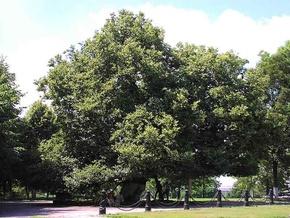 В Киеве 10 деревьев стали памятниками