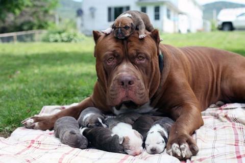 Собаки-мами, які безмірно пишаються своїм потомством (20 фото) (16)