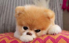 """У США помер """"найсимпатичніший пес в світі"""""""