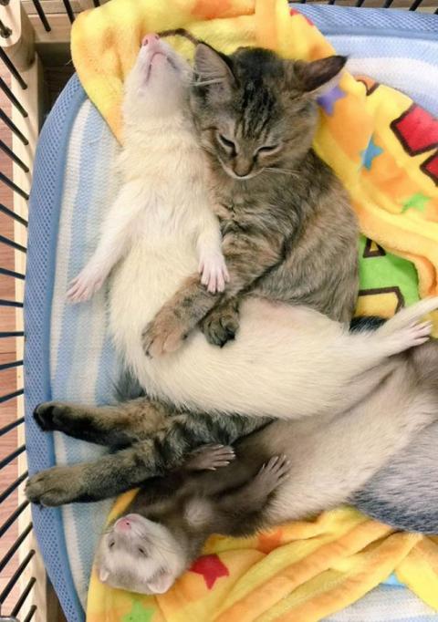 Представляємо кошеня, яке вважає себе тхором (12 фото) (3)
