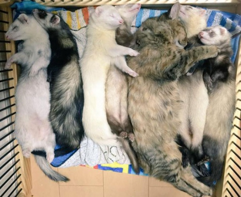 Представляємо кошеня, яке вважає себе тхором (12 фото) (10)