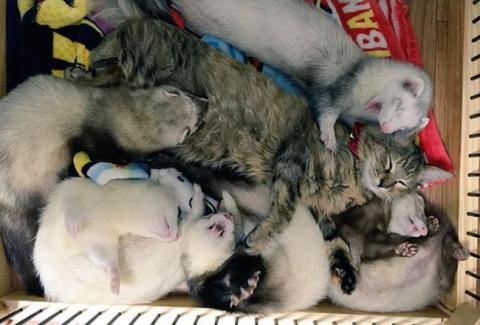 Представляємо кошеня, яке вважає себе тхором (12 фото) (7)