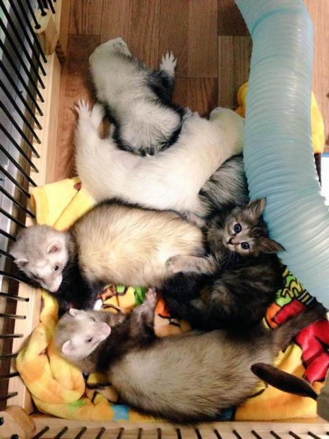 Представляємо кошеня, яке вважає себе тхором (12 фото) (4)