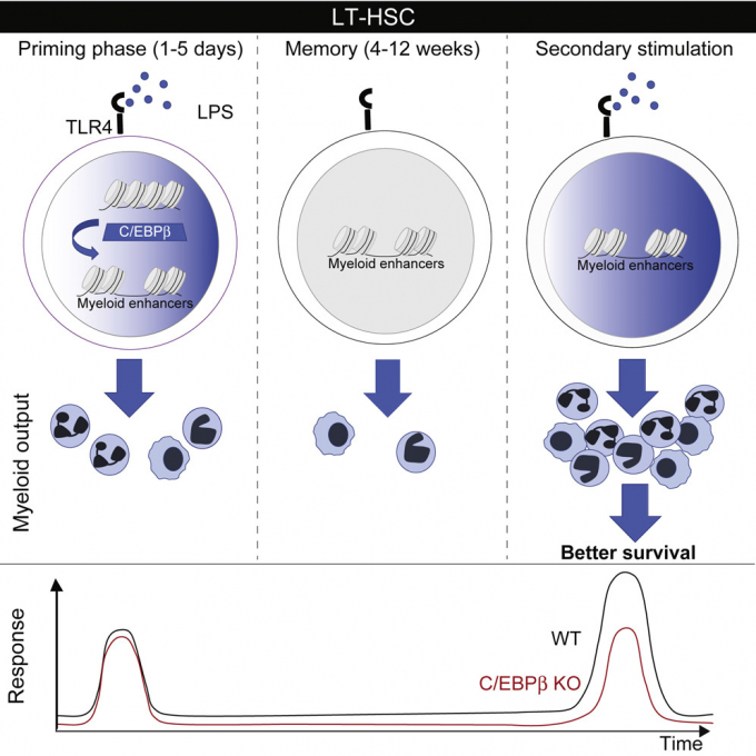 Укрепление иммунитета стволовыми клетками: как используют клеточные биотехнологии в Украине и в мире (2)