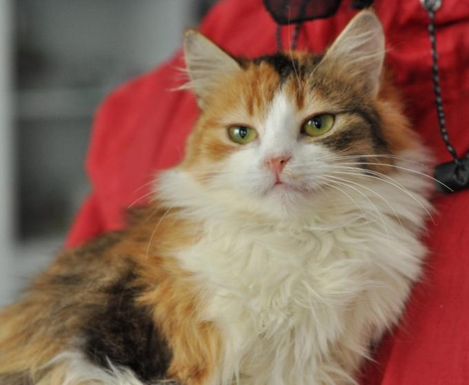 Знайди друга: пухнасті котики чекають на люблячих господарів (5)