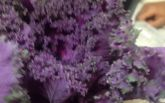 Необычные фиолетовые цветы: американец подарил своей девушке букет салата