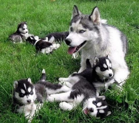 Собаки-мами, які безмірно пишаються своїм потомством (20 фото) (17)