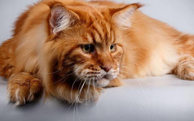 В Днепре кот породы мейн-кун будет пытаться получить звание самого большого  в Украине. Об этом на своей странице в соцсети написала Лана Ветрова 5e20bffffb49d