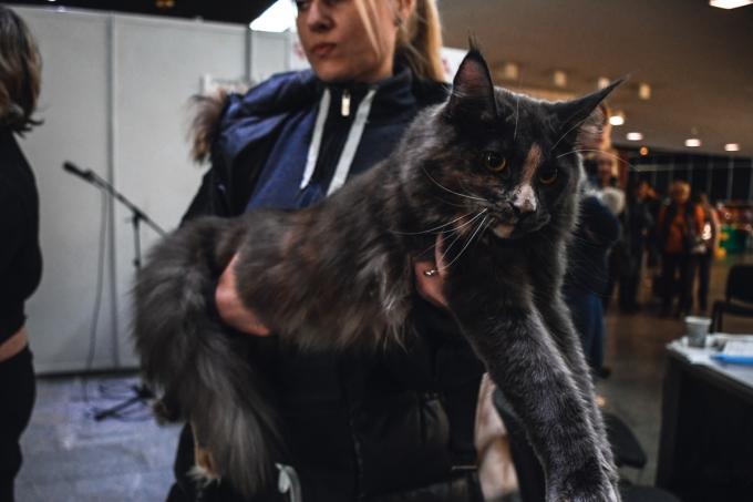 Битва гигантов: в Киеве выбрали самого большого кота (6)