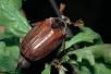 Вред огороду отмайского жука иего личинки