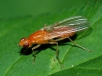 Морковная муха